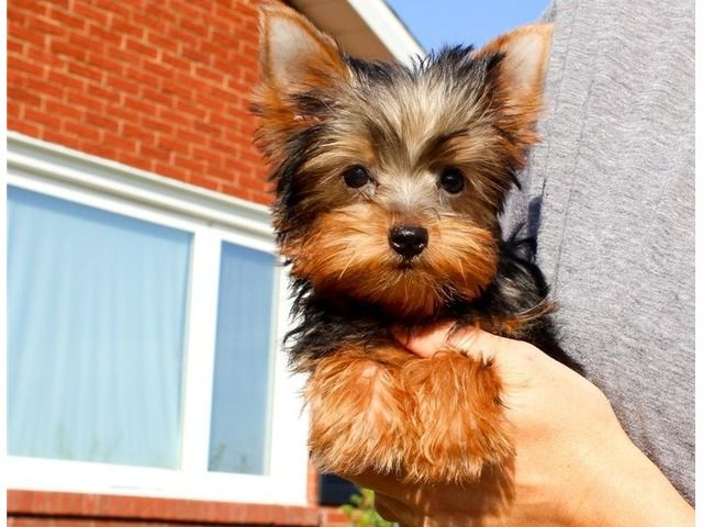 Very Friendly Outgoing Pup Vet Checked Wormed And Vaccinated Up To Date Micro Chipped For Identifica Yorkie Puppy For Sale Teacup Yorkie Puppy Yorkie Puppy