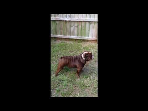 Akc Champion Sired Chocolate English Bulldog Stud Black