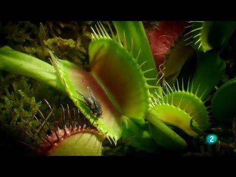 Planta carnivora. Venus atrapamoscas.