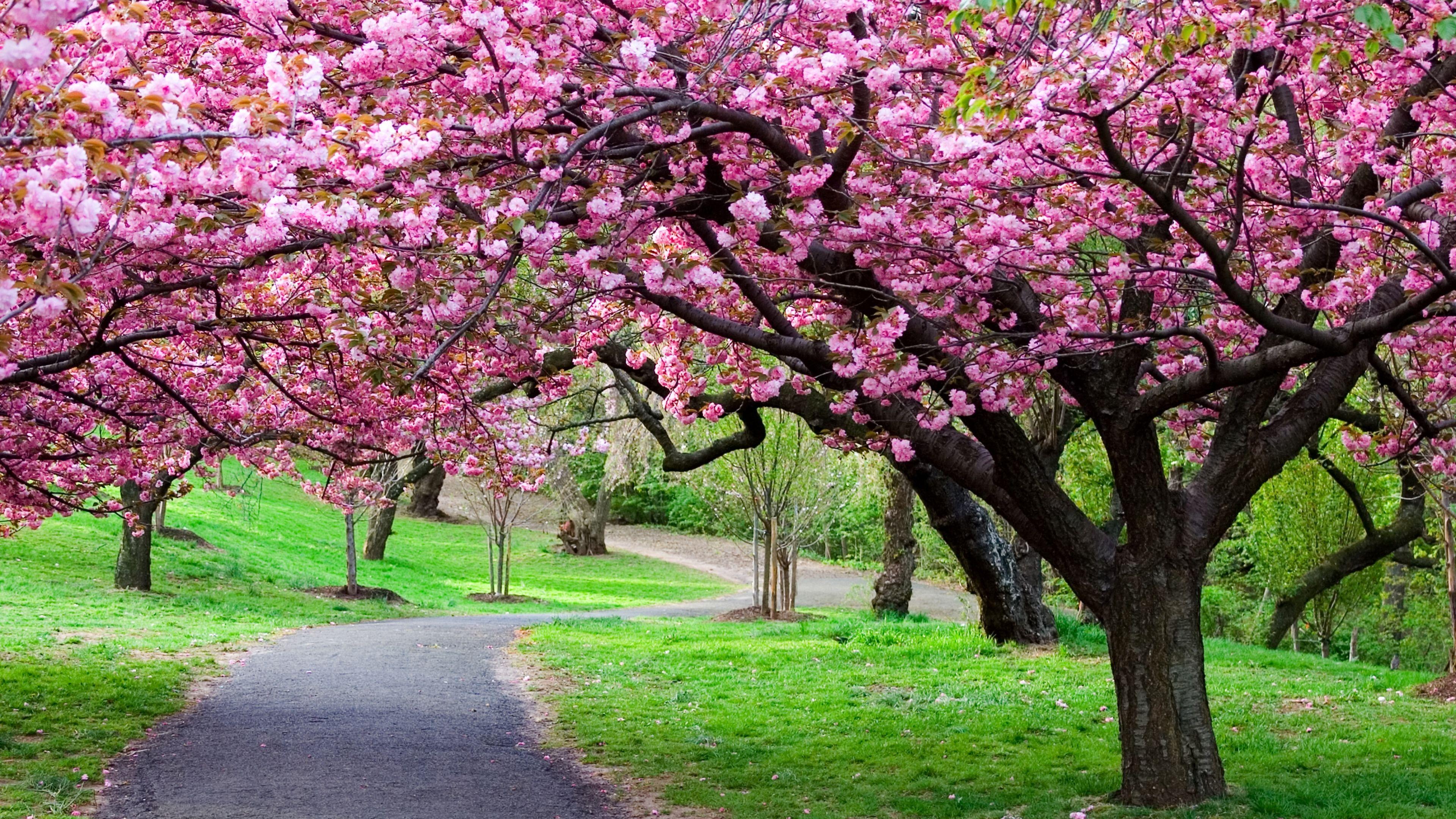Splendid Cherry Blossom HD Wallpaper WallpaperFX