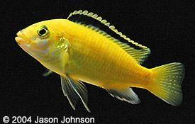 Cichlid Profiles Cichlids African Cichlids Mbuna Cichlids