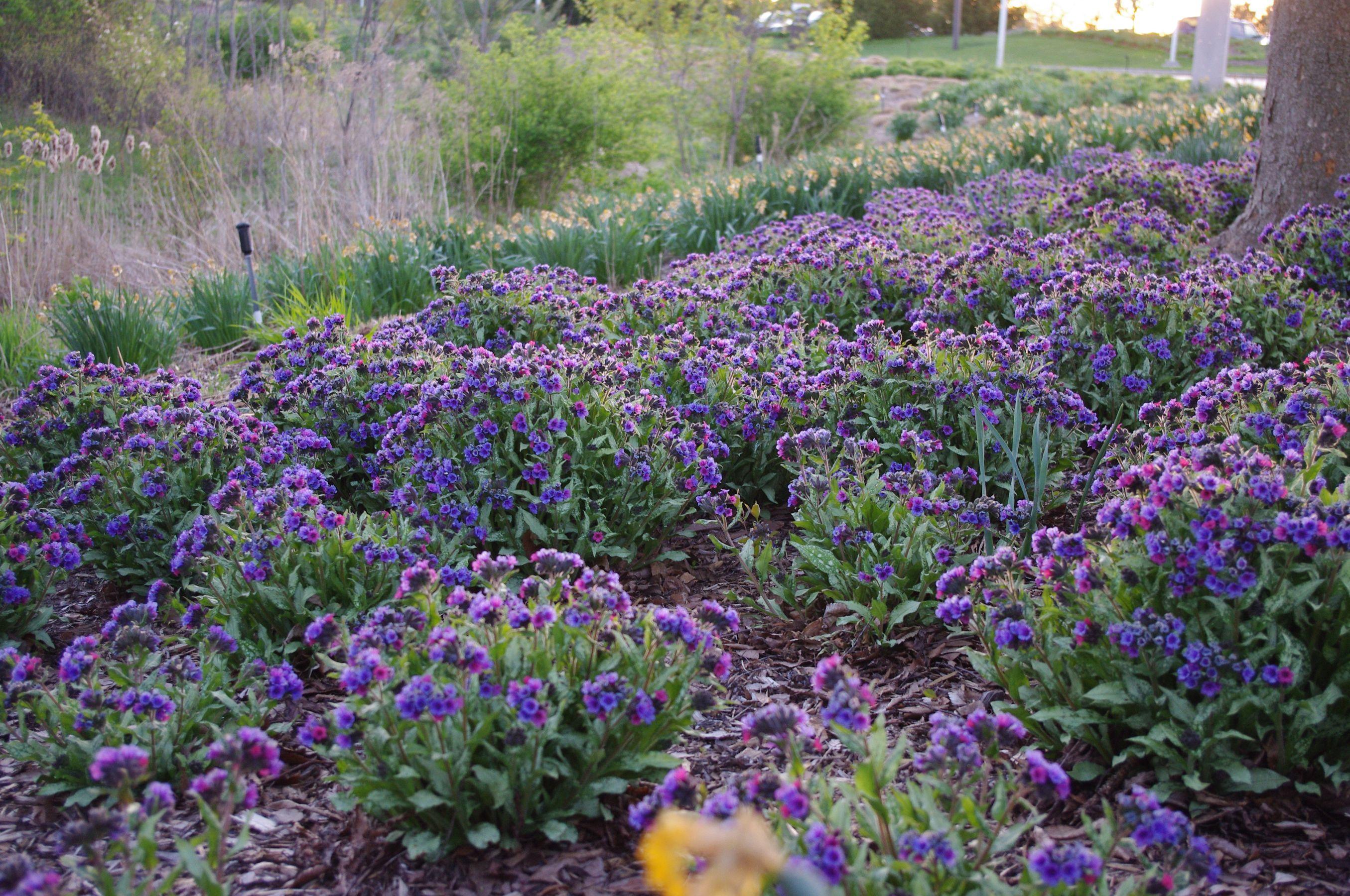 Pulmonaria Diana Clare Plants Part Shade Plants Garden Cafe