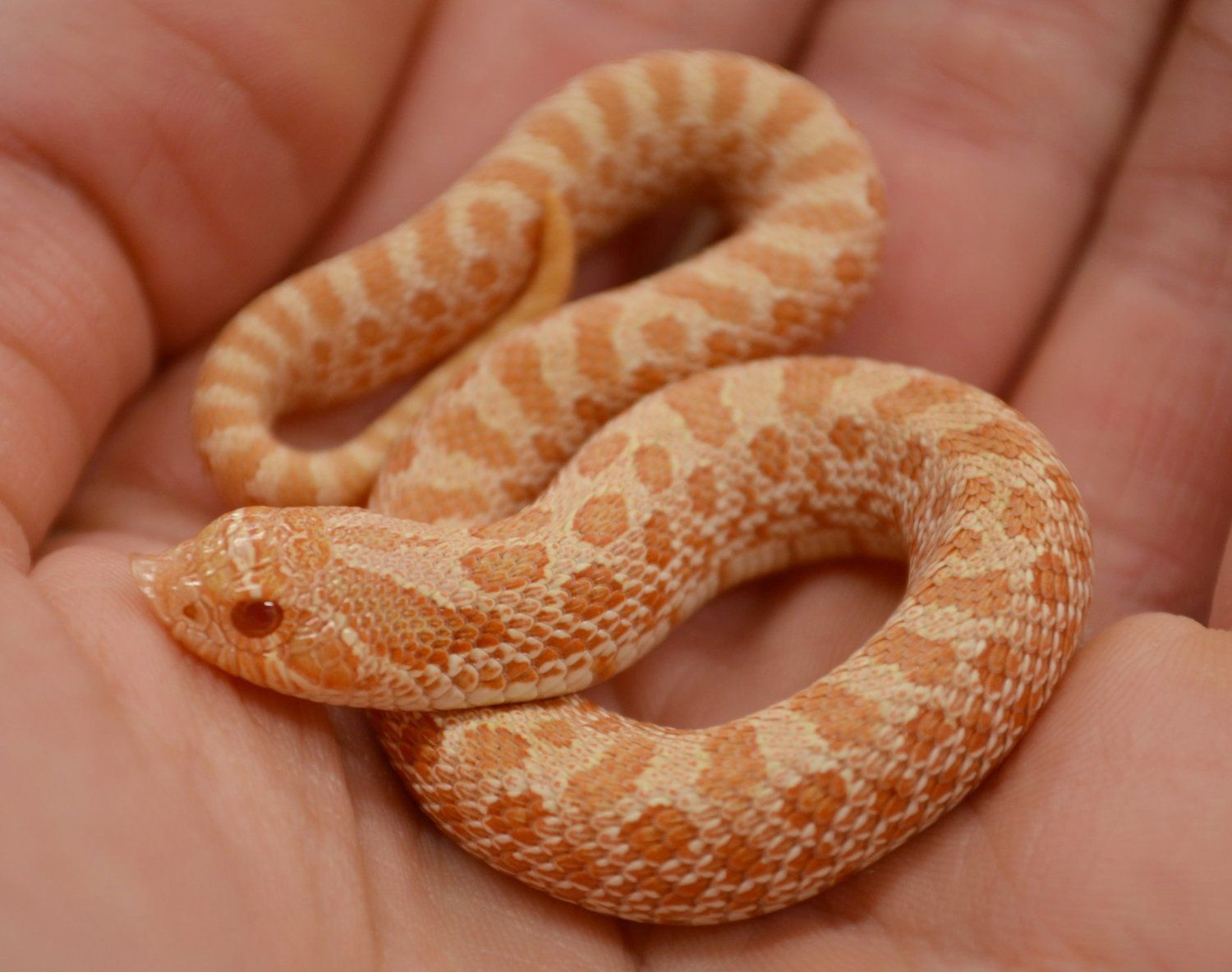Western Hognose Care With Images Western Hognose Snake