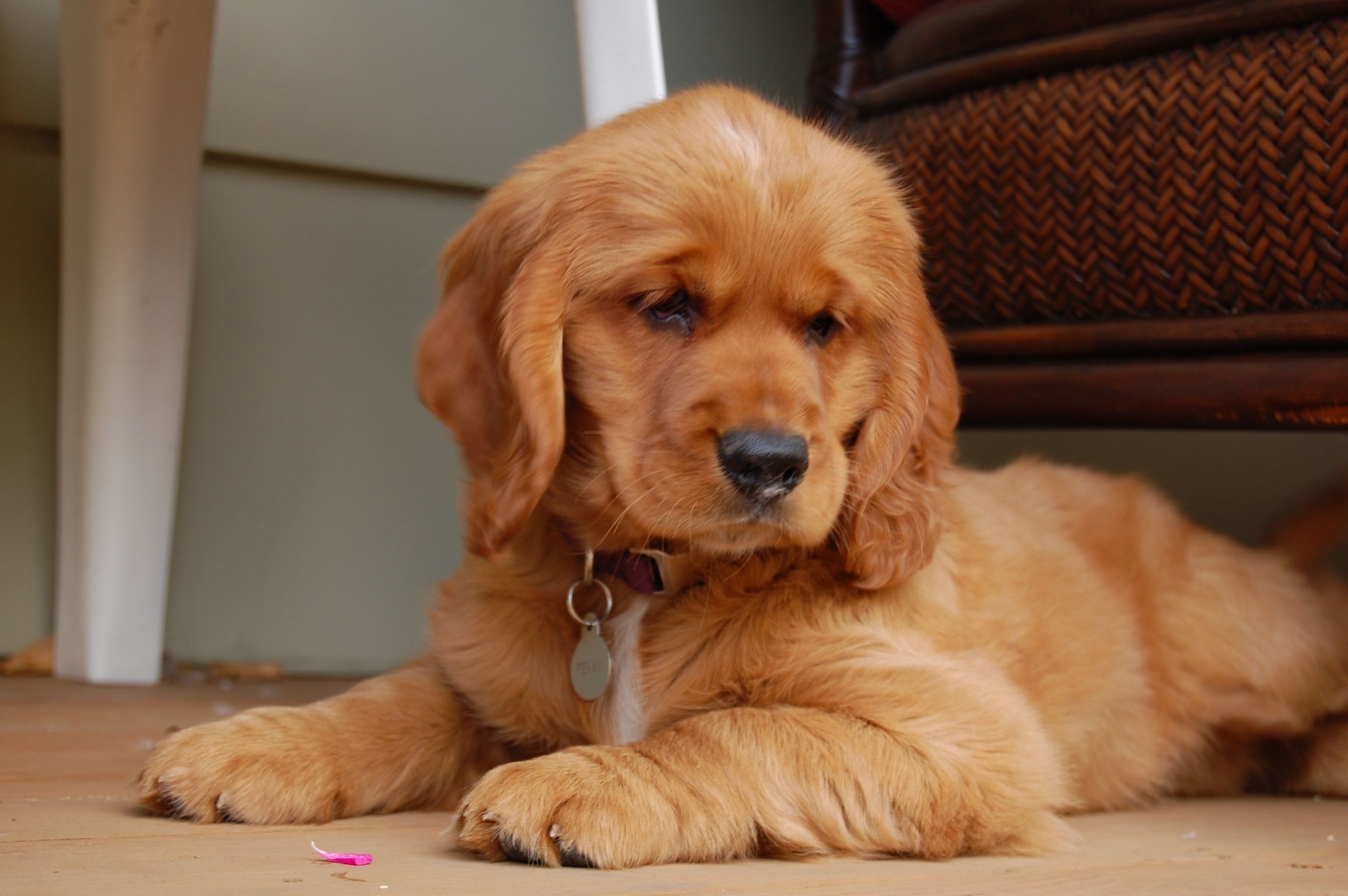 The gallery for --> Golden Retriever Cocker Spaniel Mix ...