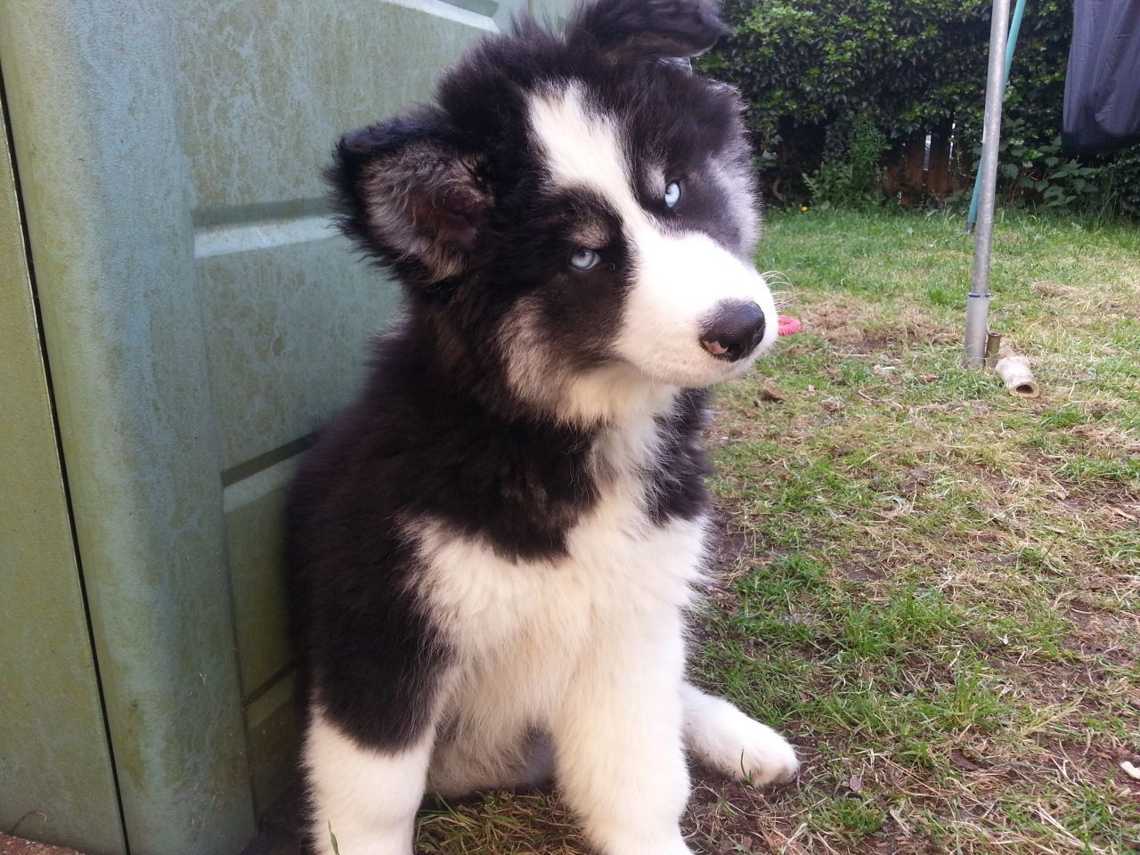 Cross Malamute Swindon Wiltshire Pets4homes 20 Of The Coolest