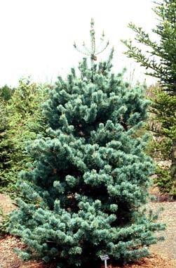 Kigi Nursery - Pinus parviflora ' Yatsubusa ' Dwarf Japanese White Pine, $15.00 (http://www.kiginursery.com/dwarf-miniatures/pinus-parviflora-yatsubusa-dwarf-japanese-white-pine/)