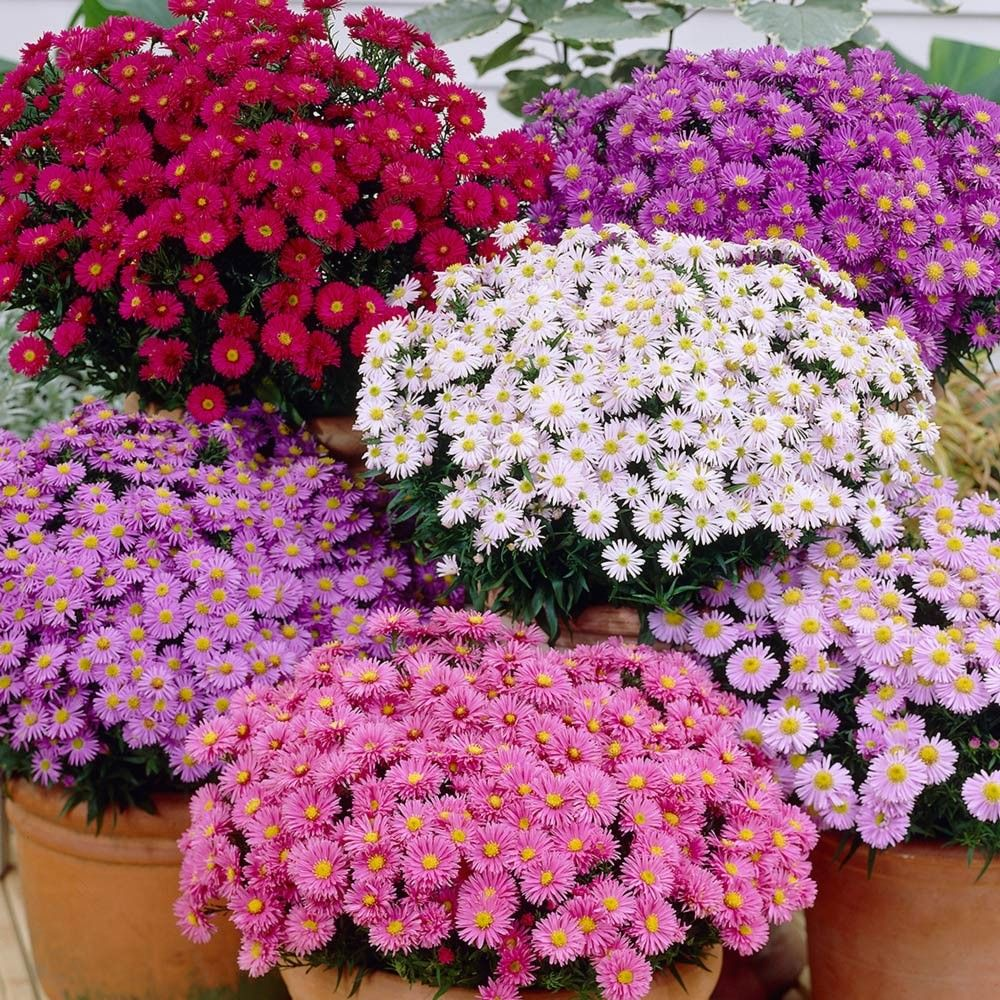 Uk Dwarf Aster Collection Cottage Garden Plants Garden Supplies Flower Seeds