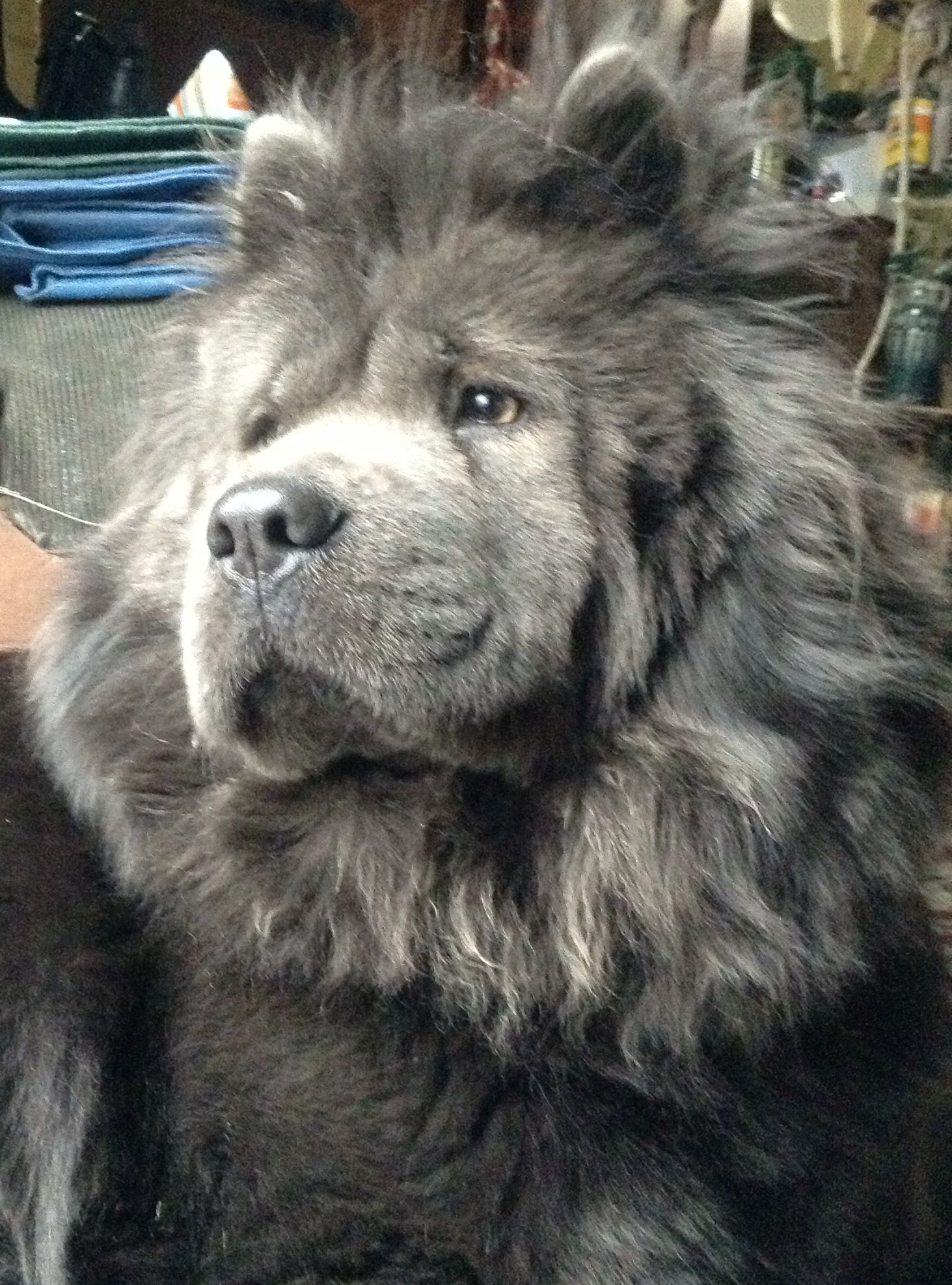 Blue Baby Chow Chow Dogs Dogs Chow Chow Dog Puppy