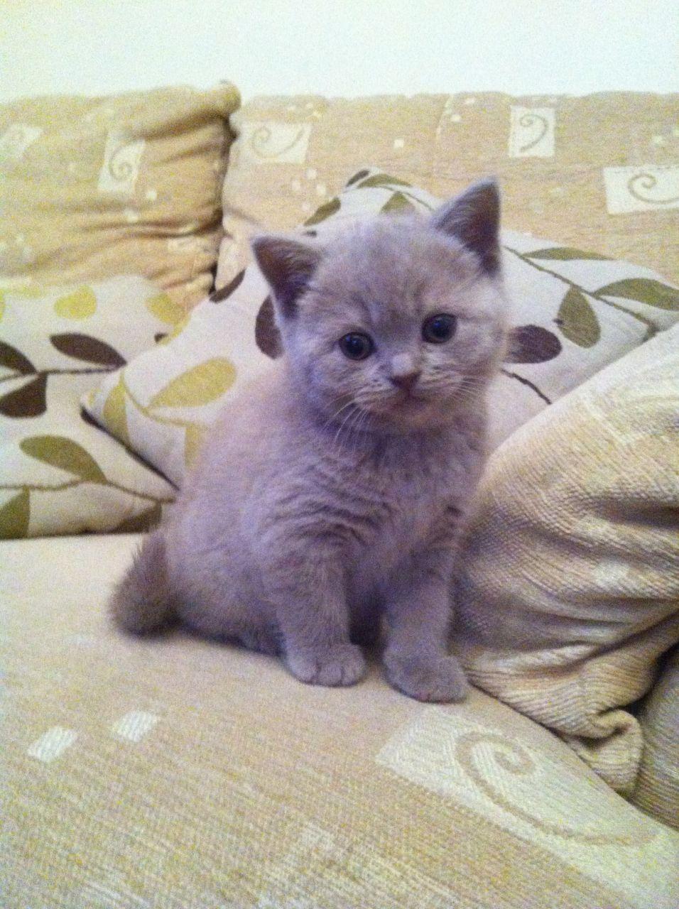 Lilac British Shorthair British shorthair cats lilac