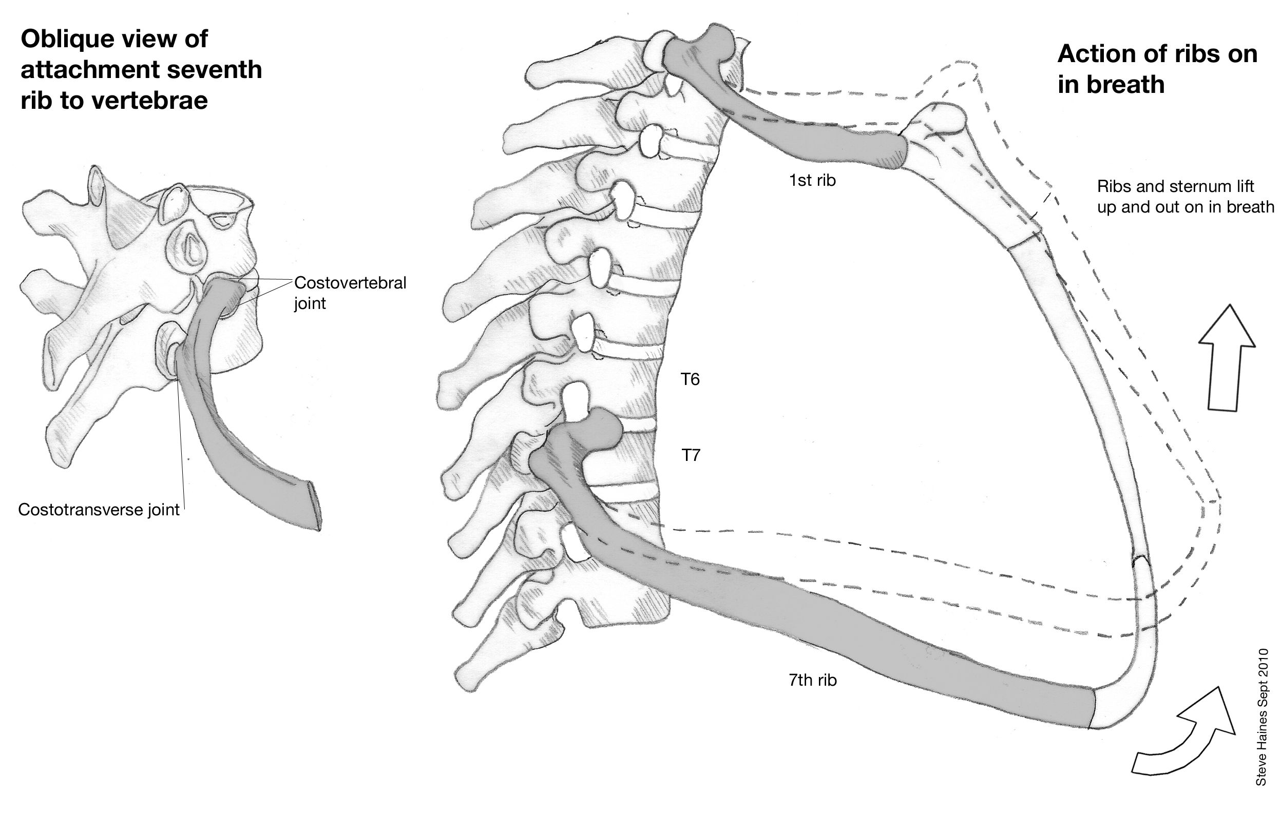 thoracic spine rib connection - Google Search | Stage 2 | Pinterest ...