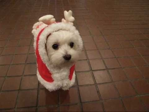 I Cannot Believe How Adorable This Is Female Maltese Dog Named