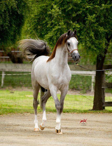 araber tiere pinterest pferde arabische pferde und. Black Bedroom Furniture Sets. Home Design Ideas