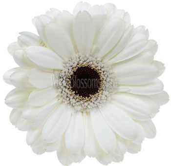 White gerbera daisy flower dark center color white pinterest white gerbera daisys 215 a stem for 40 stems all of these flowers have free shipping mightylinksfo