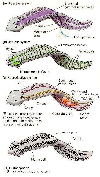 Platyhelminthes on the inside | Vertebrata and None-Unlike ...