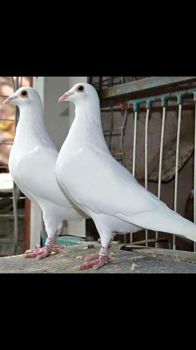 White racing pigeon | Pigeons Life | Racing pigeon lofts