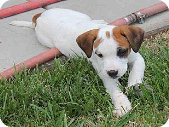 Border/boxer cutie in Statesville NC Kitten adoption