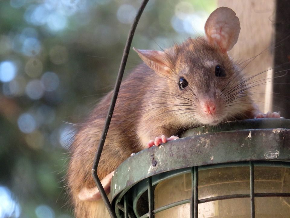 Amphetamine Helped Brain Damaged Rats Regain Function Termite Control Getting Rid Of Rats Rat Traps