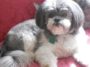 Adopt Chester On Petfinder Shih Tzu Dog Dog Communication Shih Tzu