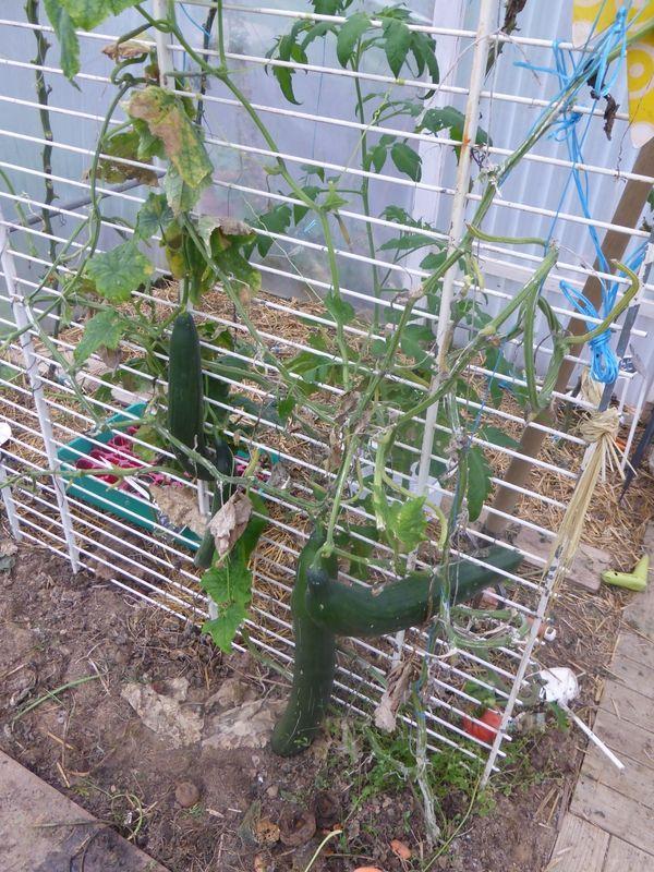 support concombre potager au jardin pinterest concombre support et potager. Black Bedroom Furniture Sets. Home Design Ideas