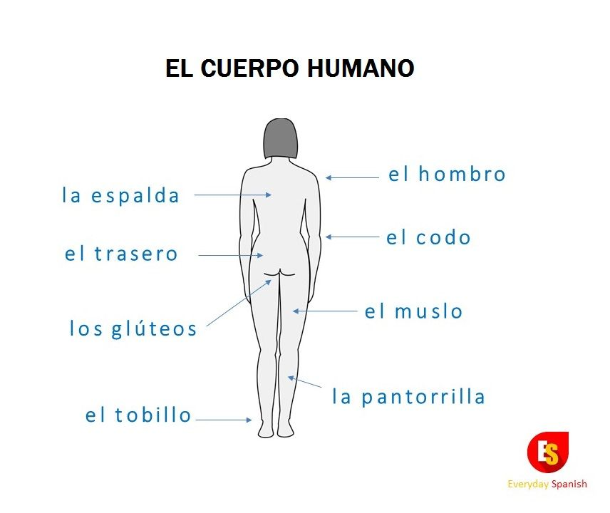 Parts Of The Human Body In Spanish Back A Learn Spanish