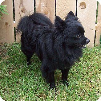 Before You Call A Pomeranian Chihuahua Dog Breeder In Bridgeton Mo Meet Shadow Adoption Pending Who Was Adopted
