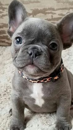 Find Out More On The Friendly Bulldog Puppy Grooming Bulldogstrong Bulldogg Bulldogsfun French Bulldog Puppies Cute Baby Animals Blue French Bulldog Puppies