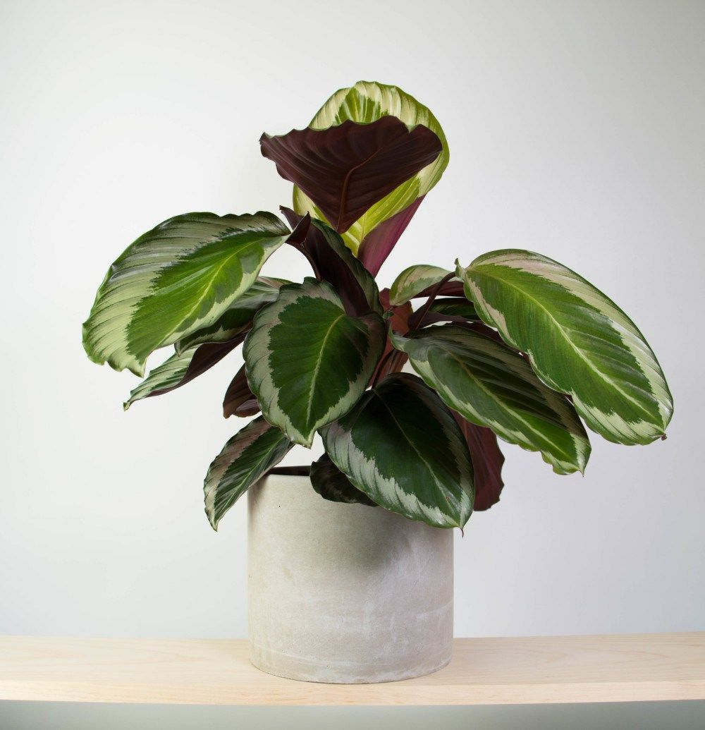 Best Kitchen Gallery: Calathea Cobra Pink In Concrete Cool Indoor Plants Pinterest of Pink And Green Tropical Houseplants on rachelxblog.com
