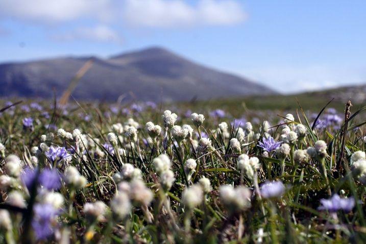 Mountain everlasting, cat's foot, kissankäpälä. Pieni ja pehmeä kasvi katoille ja kivikoille.  http://mangurstadhgallery.co.uk