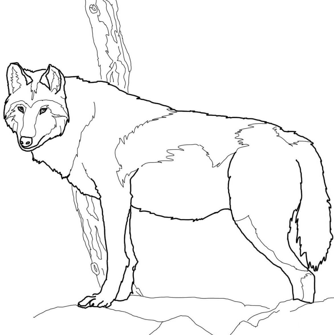 Timber Wolves Are Found In Packs Of 5 To 12 Animals There Is An Alpha Male And Alpha Female In The Pack A Hie Wolf Colors Timber Wolf Animal Coloring Pages