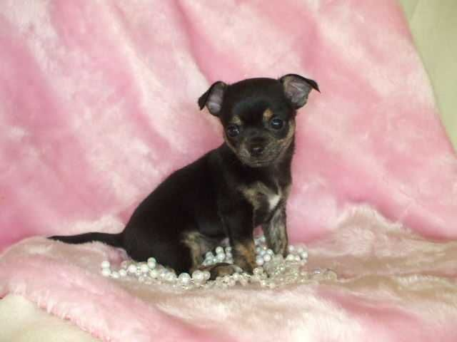 Aww Looks Almost Like Mine When He Was A Pup Teacup