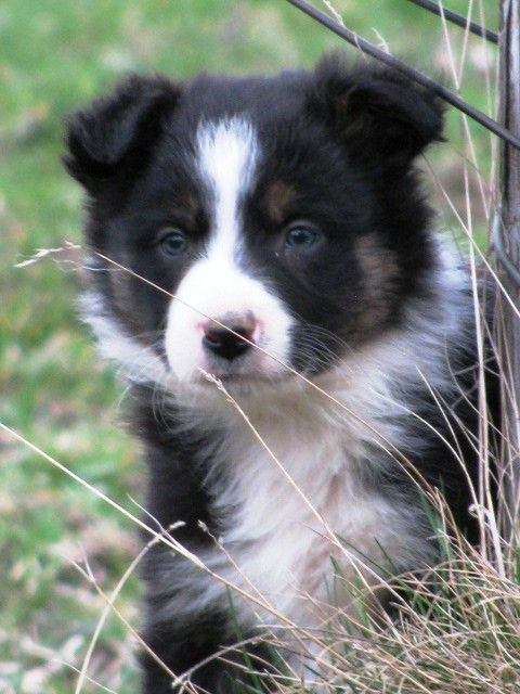 My Future Home Will Include A Border Collie Border Collie Puppies Border Collie Collie Puppies
