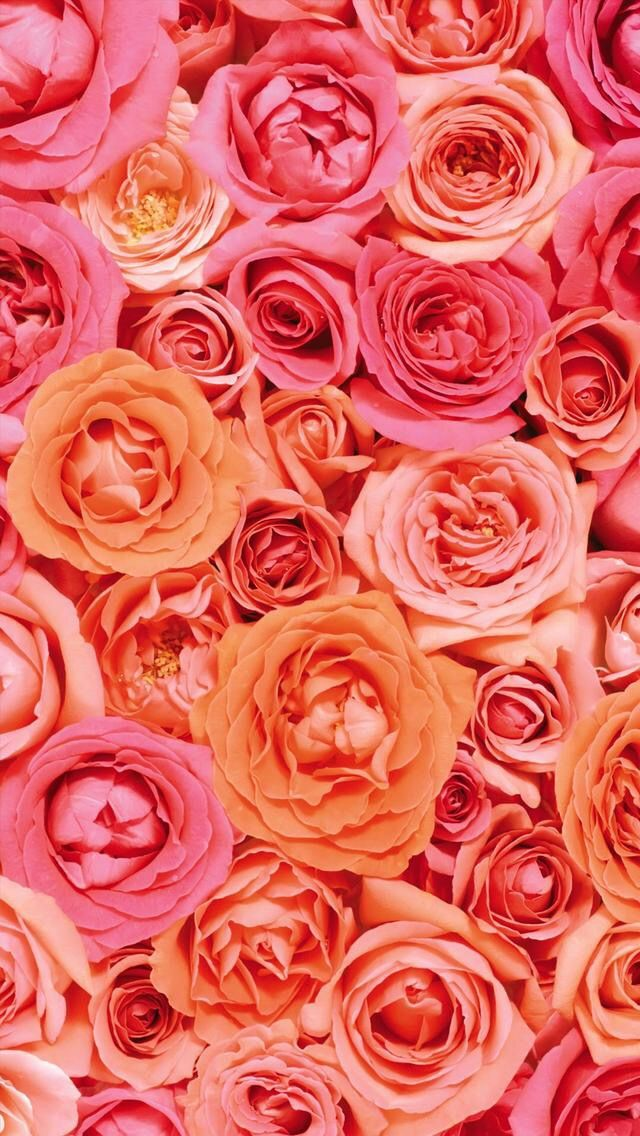 Wallpaper Iphone Pink Rose Wallpaper Hd Rose Wallpaper Rose
