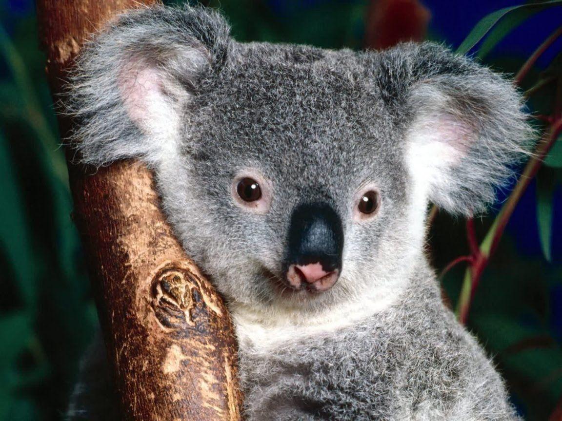 Koala Hd Wallpapers And Backgrounds 8 Http Www Urdunewtrend Com Hd Wallpapers Animal Koala Koala Hd Wallpapers And Backgr Cute Koala Bear Koala Bear Koala
