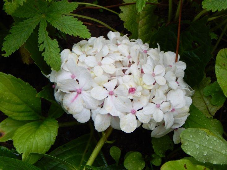Гортензия Peppermint - Мой Сад