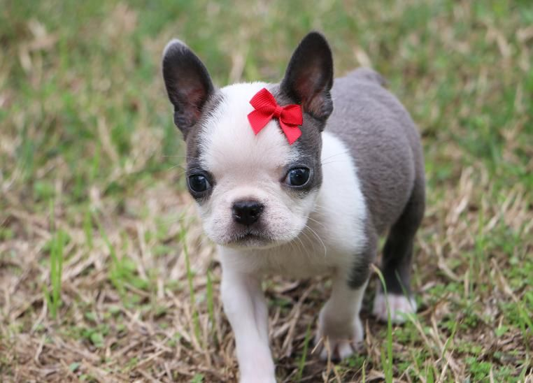 Colored Boston Terriers By Cypress Farm Kennel With Images