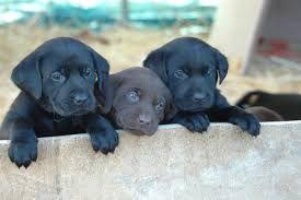 Black Golden Retriever Puppies Google Search Dogs Puppies