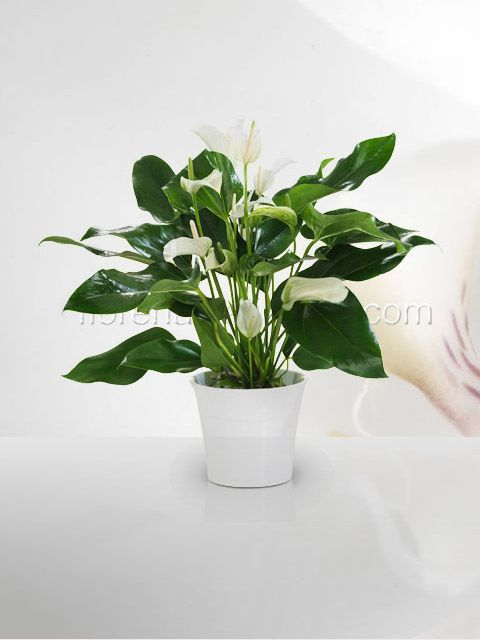 Venta de plantas plantas de ornato para interiores for Plantas ornamentales de interior