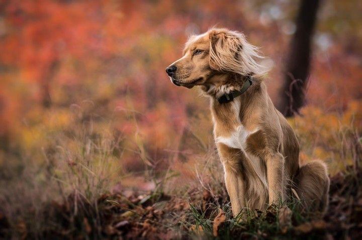 Sobaka Trava Osen Priroda November Dogs Golden Retriever Golden