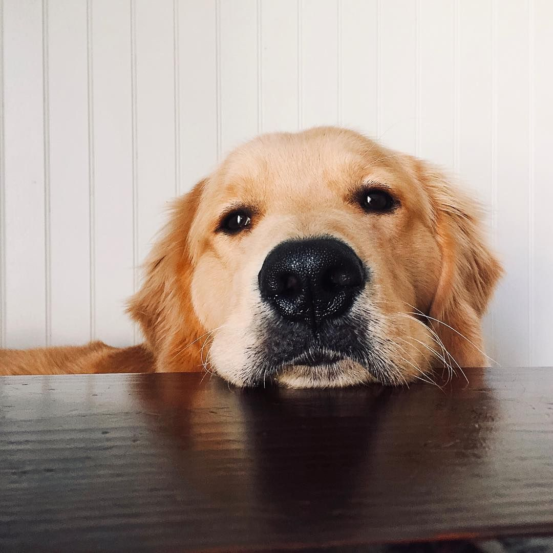 Bauer The Golden Retriever On Instagram Let S Just Skip The Bowl