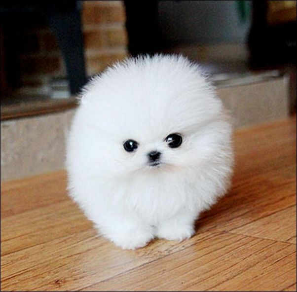 cute-pomeranian-puppies-for-adoption-white-cute-puppy-like ...