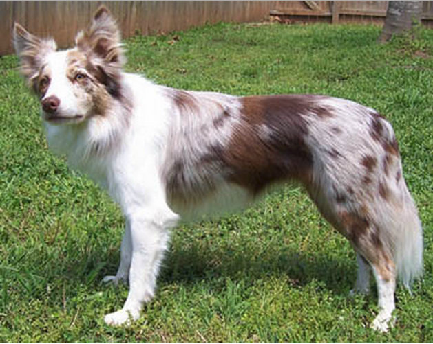 Varios Padroes Red Merle Border Collie Red Border Collie