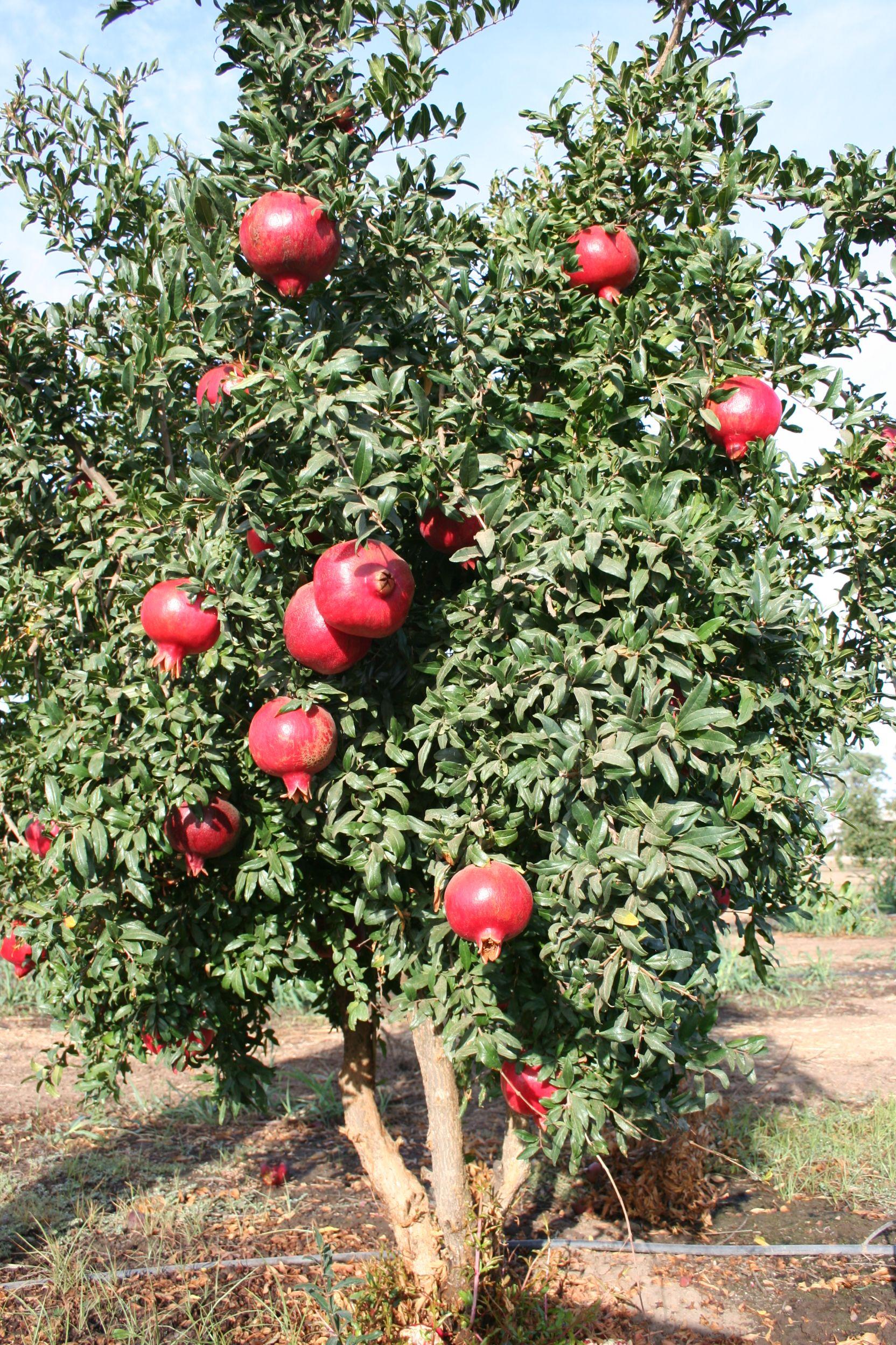 Angel Red Pomegranate Growing Fruit Trees Fruit Plants Fruit Garden