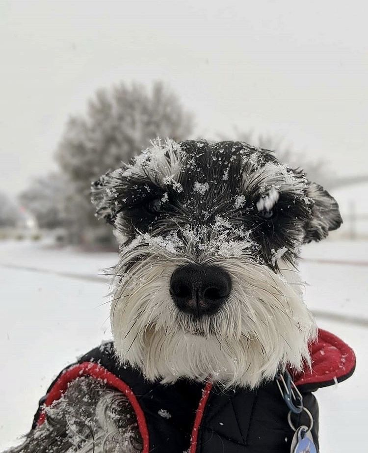 Schnauzer Snow Fun  #schnauzer #snow #winter #dogs #puppy #pets  The Effective Pictures We Offer You About Dogs and puppies training  A quality picture can tell you many things. You can find the most beautiful pictures that can be presented to you about  Dogs and puppies labs  in this account. When you look at our dashboard, there are the most liked images with the h #fun #Schnauzer #Snow