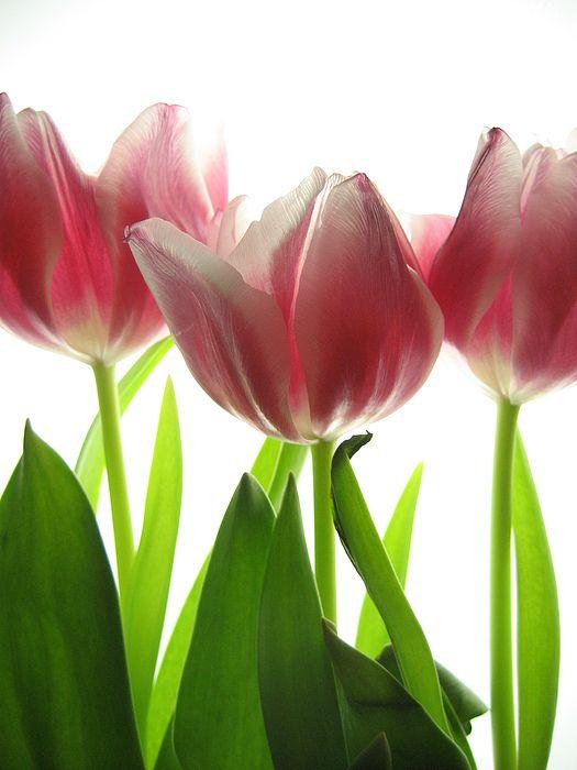 #tulip #flower #photography