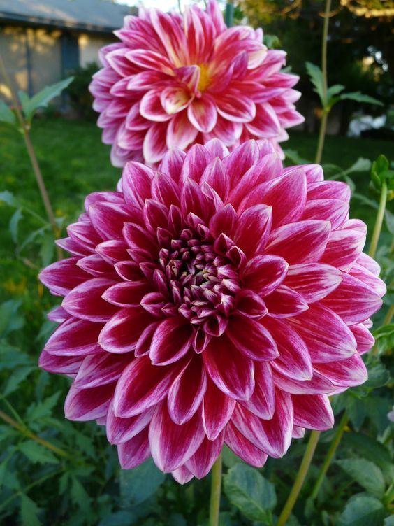 Pin Von Barbara Leenhoven Auf Tuin Blumen Pflanzen Blumen Dahlien