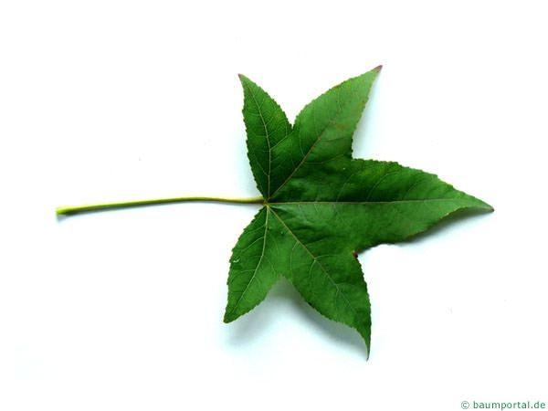 Sweetgum Liquidambar Styraciflua Leaf Plant Leaves Leaves Tree Identification