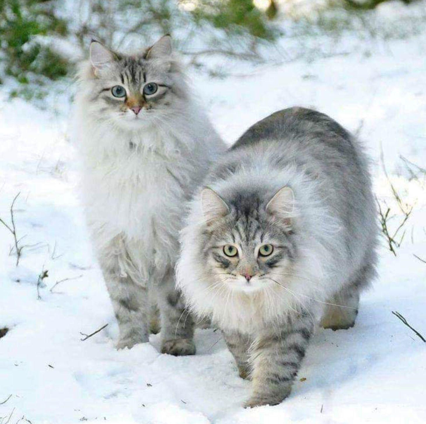 Лесная сибирская кошка фото