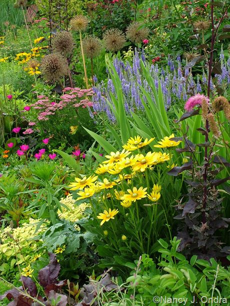 Rudbeckia hirta 'Prairie Sun', Veronica grandis, Callirhoe involucrata, Achillea, and Allium Ambassador in late June; Nancy J. Ondra at Hayefield