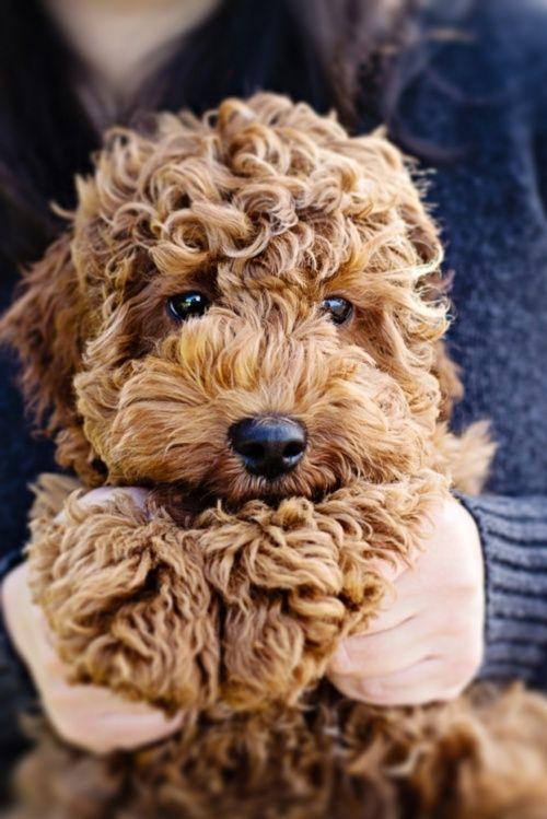 Popular Bear Brown Adorable Dog - a10deaff8d4c1f86c9e53d6899a4194d  2018_944179  .jpg