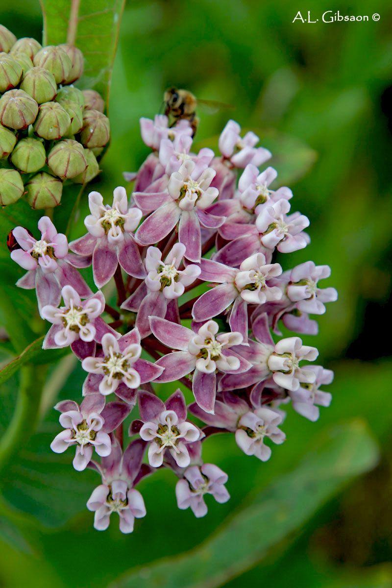A guide to the milkweeds of ohio milkweed plant